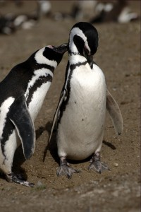 Penguins loving VII